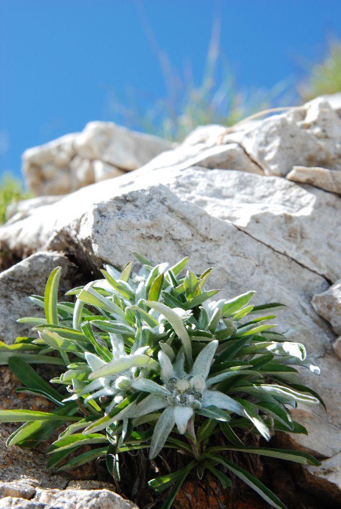 leontopodium alpinum stella alpina edelwei toile des alpes planika edelweiss asteraceae. Black Bedroom Furniture Sets. Home Design Ideas