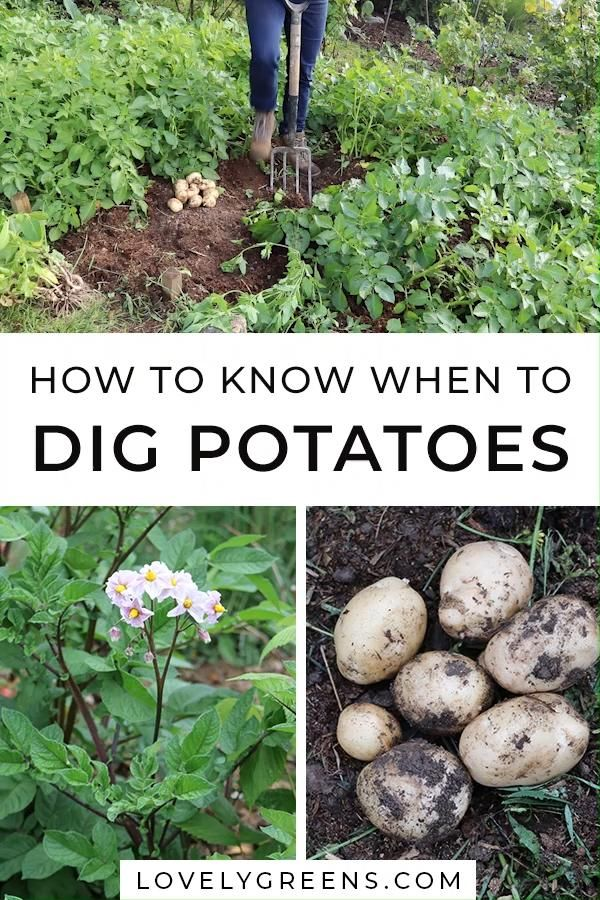 How to know when to dig up potatoes