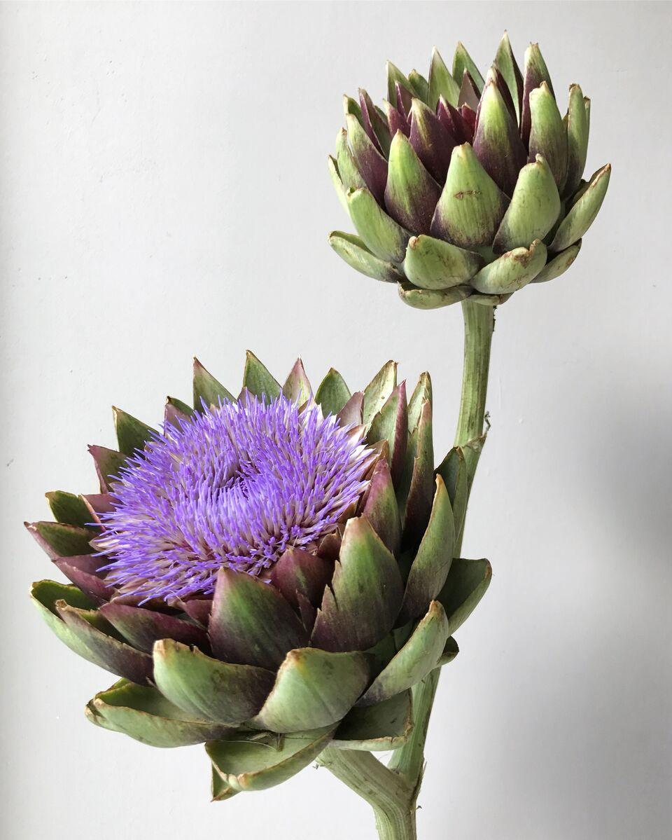 фото цветок артишок образом отбеливаем
