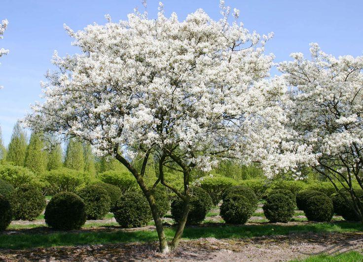 Beautiful formal garden with flowering trees au en felsenbirne garten und b ume garten - Gartenpflanzen straucher ...