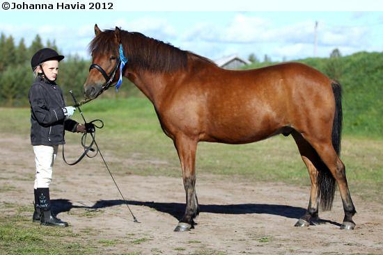 Gotland Pony - gelding Torpets Atom