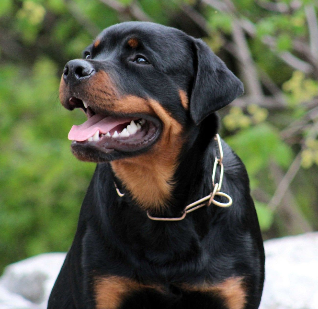 German Rottweiler Puppy Pics German Rottweiler Puppies