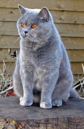 The Girls Page British Blue Cat Cute Cats Bengal Cat
