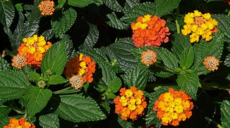 Poa Labillardieri En 2020 Plantas De Lavanda Flores Anuales Flores De Sombra