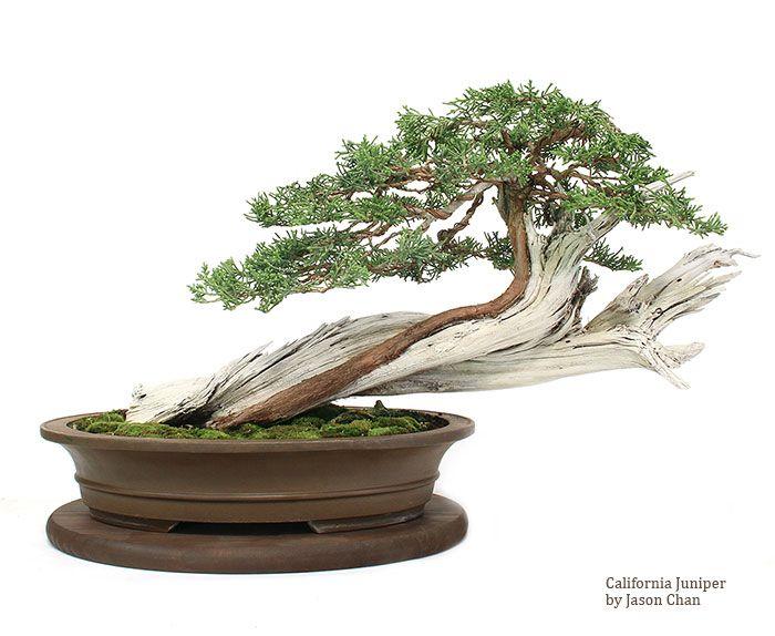 California Juniper Bonsai By Jason Chan Bonsai Art Bonsai Jason Chan