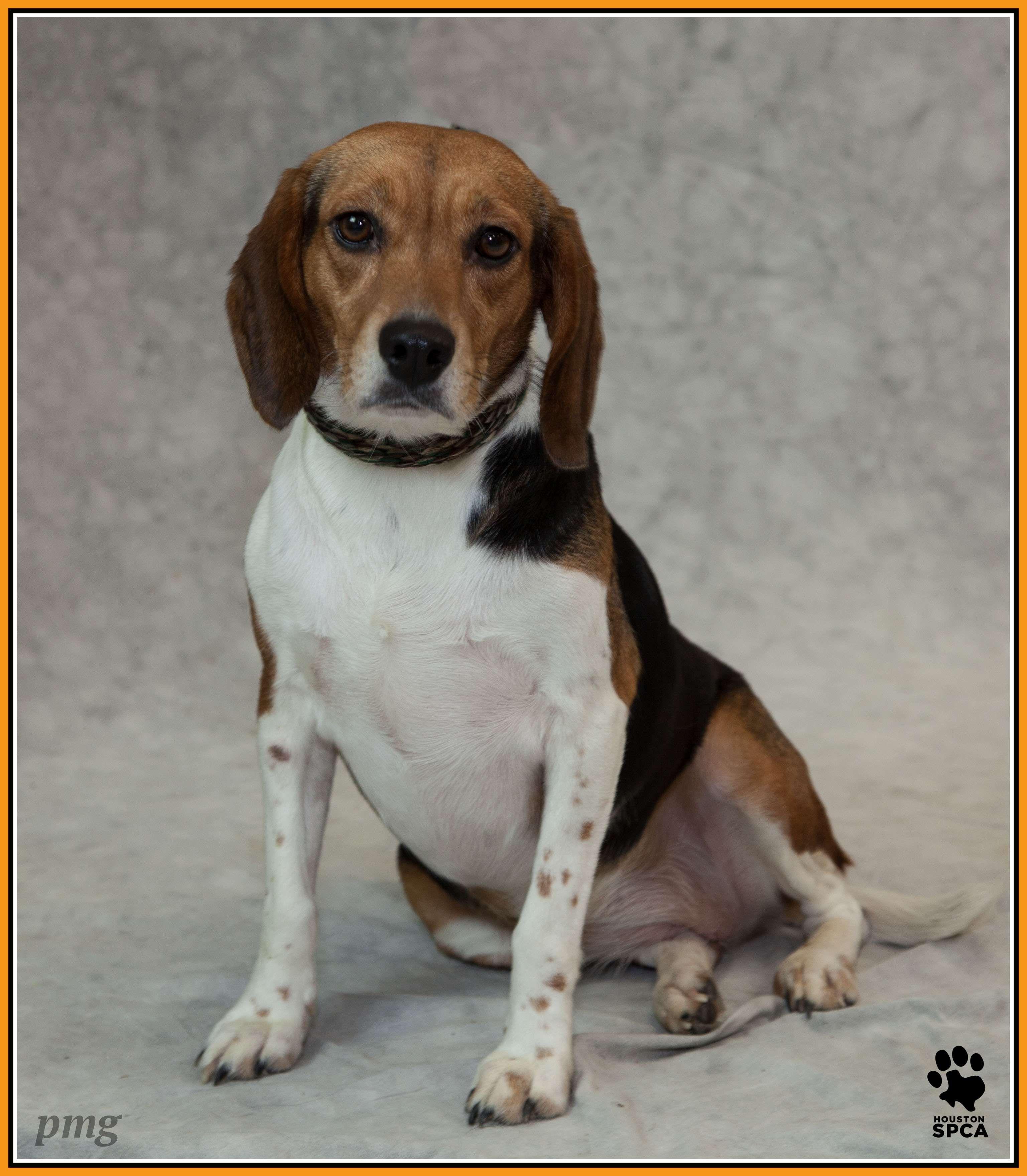 Cute Beagle Houston Spca Cute Beagles Animal Control Shelter