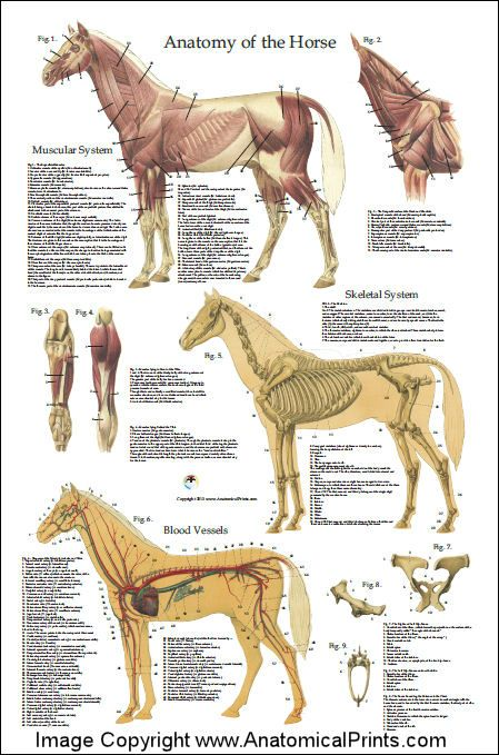 Horse Anatomy Poster 24 X 36 Animal Anatomy Pinterest