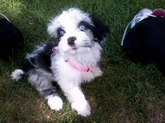 35 Unreal Shih Tzu Cross Breeds You Have To See To Believe Wire Fox Terrier Cocker Spaniel Mix Breeds