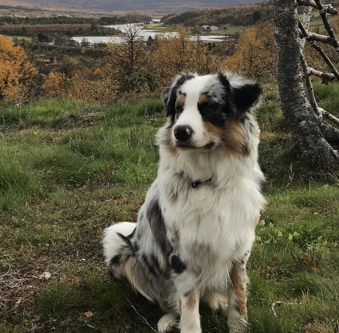 Pin By Mandy Carman Aussies On Aussie Dog House Aussie Dogs