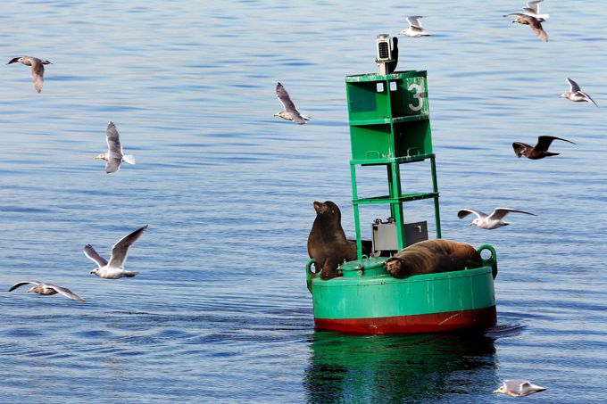 Sea Lions hanging out on buoy just off Everett.  photo by Everett Herald
