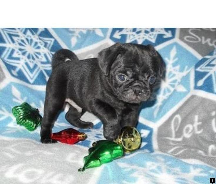 Find Out About Baby Pugs For Adoption Simply Click Here For More