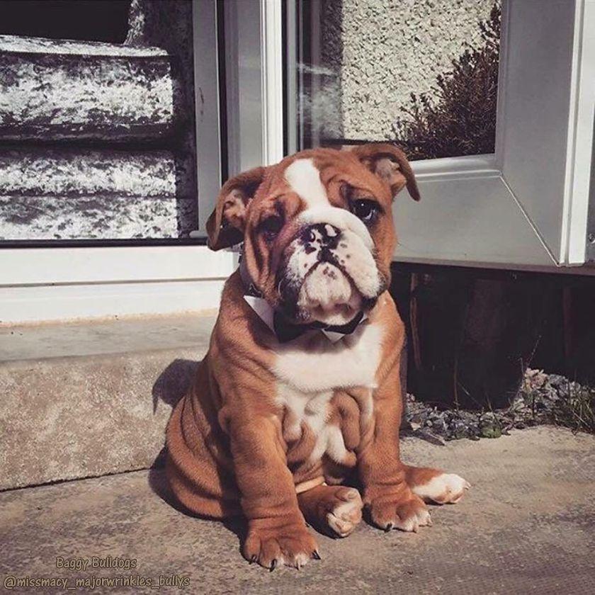 Baggy Bulldogs English Bulldog Puppies Really Cute
