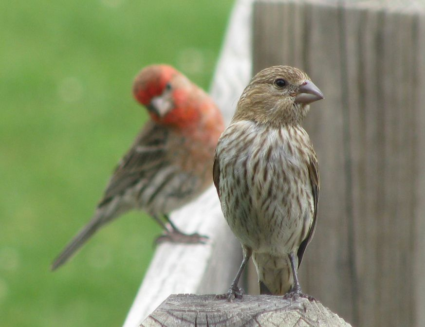 House Finches Haemorhous Mexicanus Male And Female Originally A Bird Of The Southwest Us And Mexico House With Images Backyard Birds Watching Finch Bird