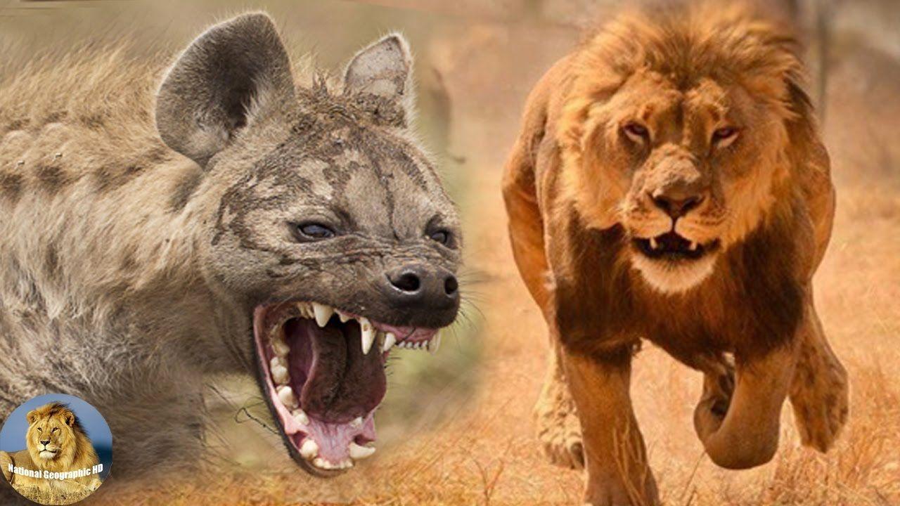 Animal · King of Predator - Lion vs Hyena - Wild Discovery Channel Animals HD 720p