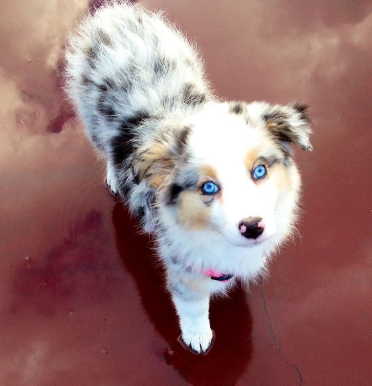 thedailywag:   Wow, WoW, WOW!! This is Molly, the Australian Shepard. What a gorgeous pup!! 8-)  Special thanks to tumblr follower garythedu...