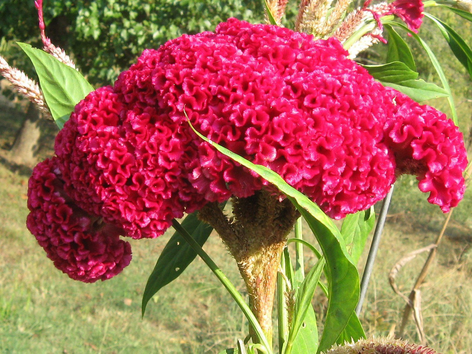 100 Giant Cockscombs Flower Seeds 1024 With Images Flower Seeds Celosia Flower Flowers