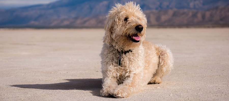How Do I Stop My Labradoodle Puppy From Barking Labradoodle Puppy Labradoodle Puppies