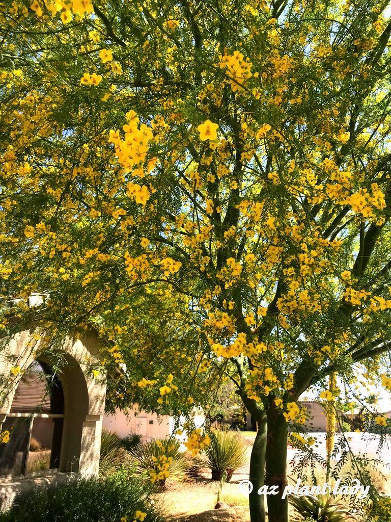 Yellow Showers Flowering Desert Museum Palo Verde In An Arizona