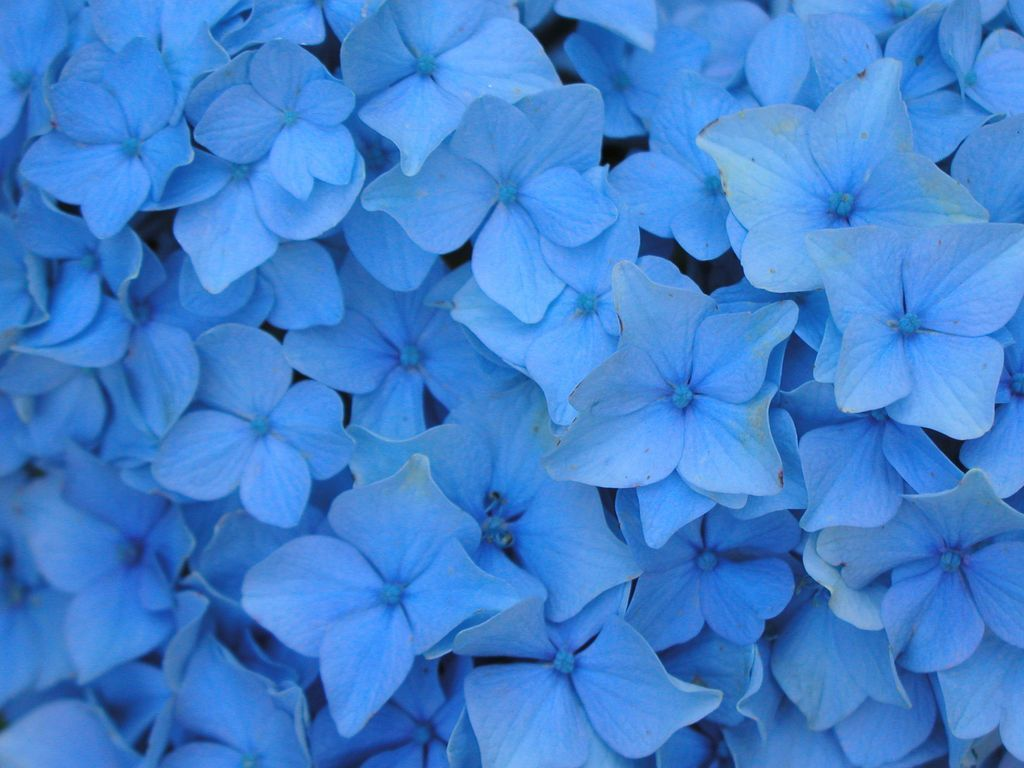 Blue Flowers Wallpapers High Quality Download Free 3d Wallpapers