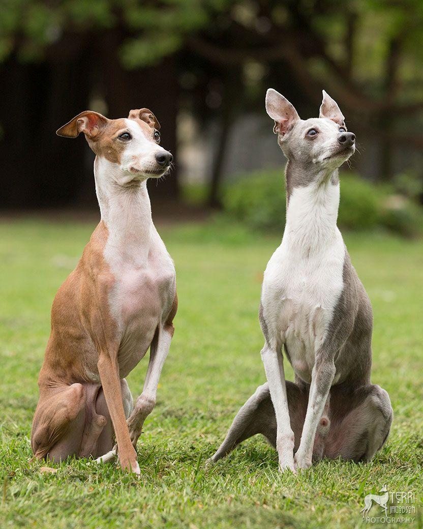 Two Italian greyhounds sitting   Hairy dog, Animal ...