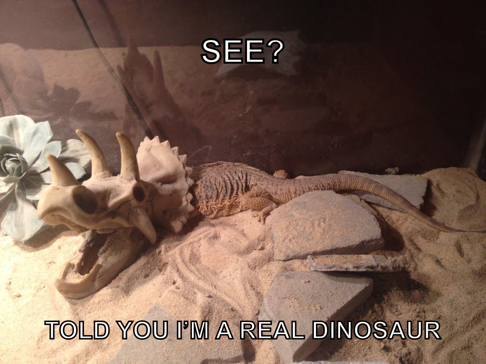 30 Bearded Dragon Memes To Make You Smile Animalpages Bearded