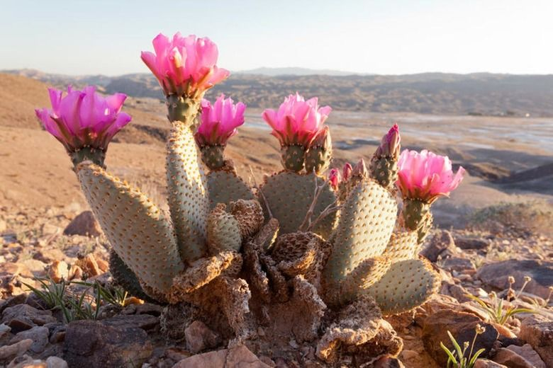 5 Seeds Opuntia basiliaris Beaver Tail Cactus