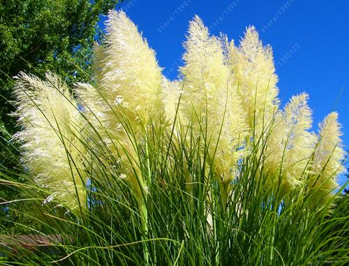 1200 PCS/package PAMPAS GRASS seeds ,rare reed flower seeds for home garden planting Selloana Seeds Garden decoration DIY!