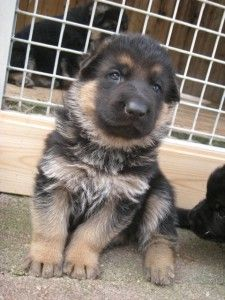 German Shepherd Names Male And Female