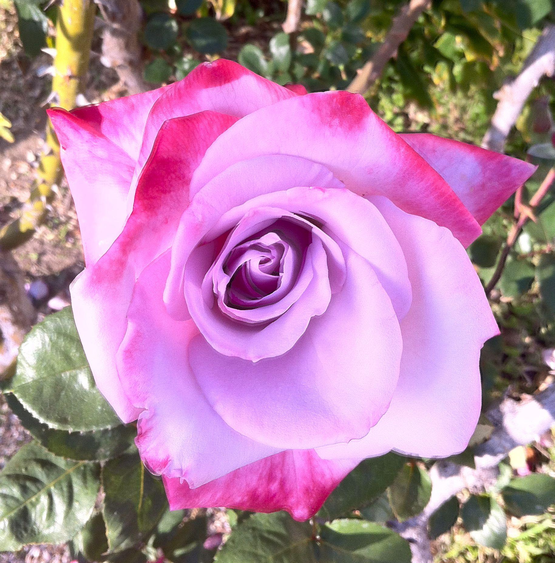 Love the colors random pinterest rose flowers and gardens