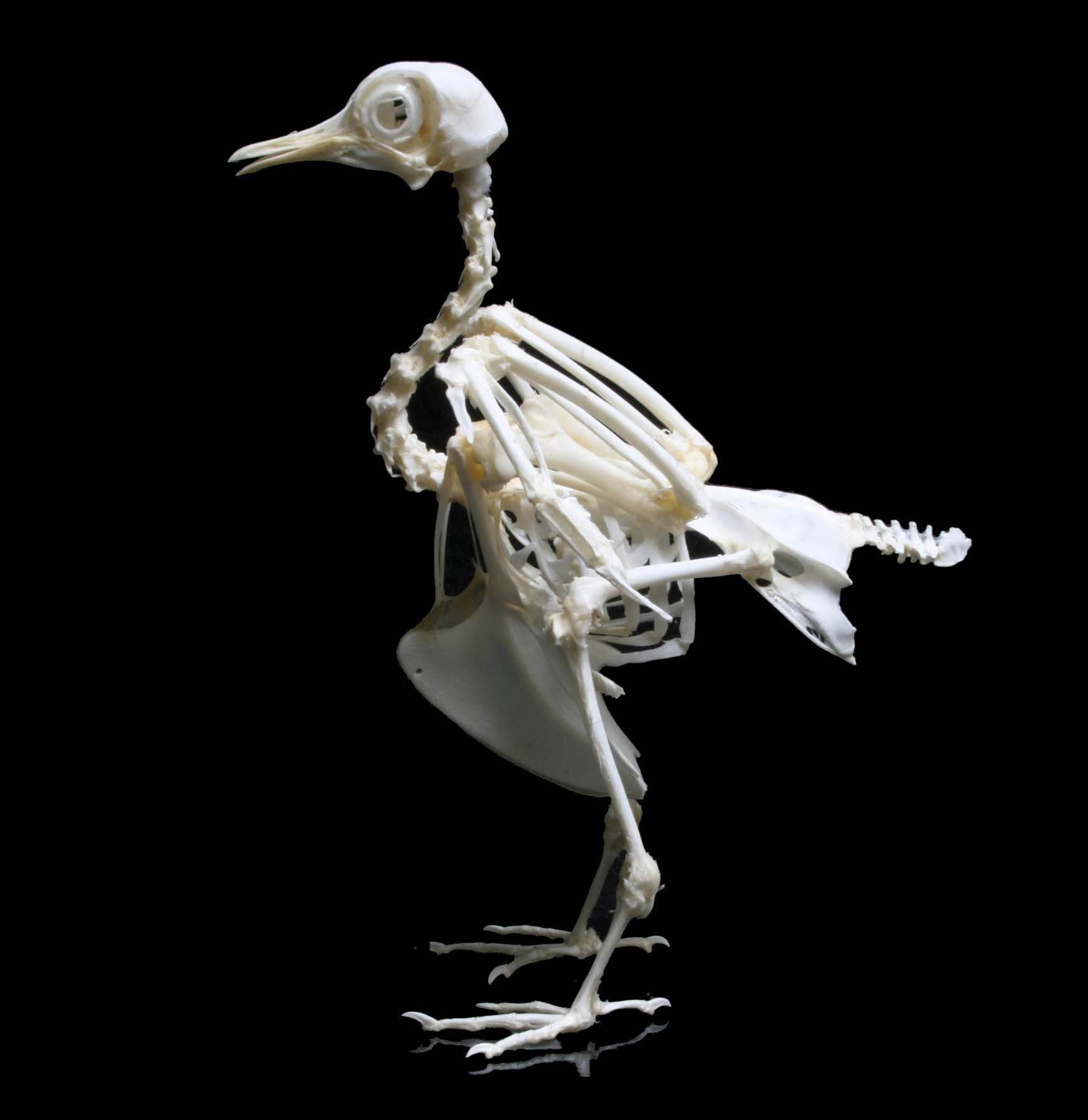 Articulated bird skeleton for sale