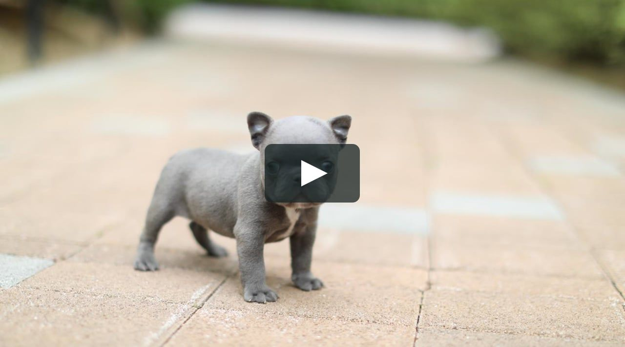 Amazing Mini Blue French Bulldog Puppy Available Estimating Under 10 Lbs And Super Cute Playful O Frenchie Bulldog Puppy Bulldog Puppies French Bulldog Blue