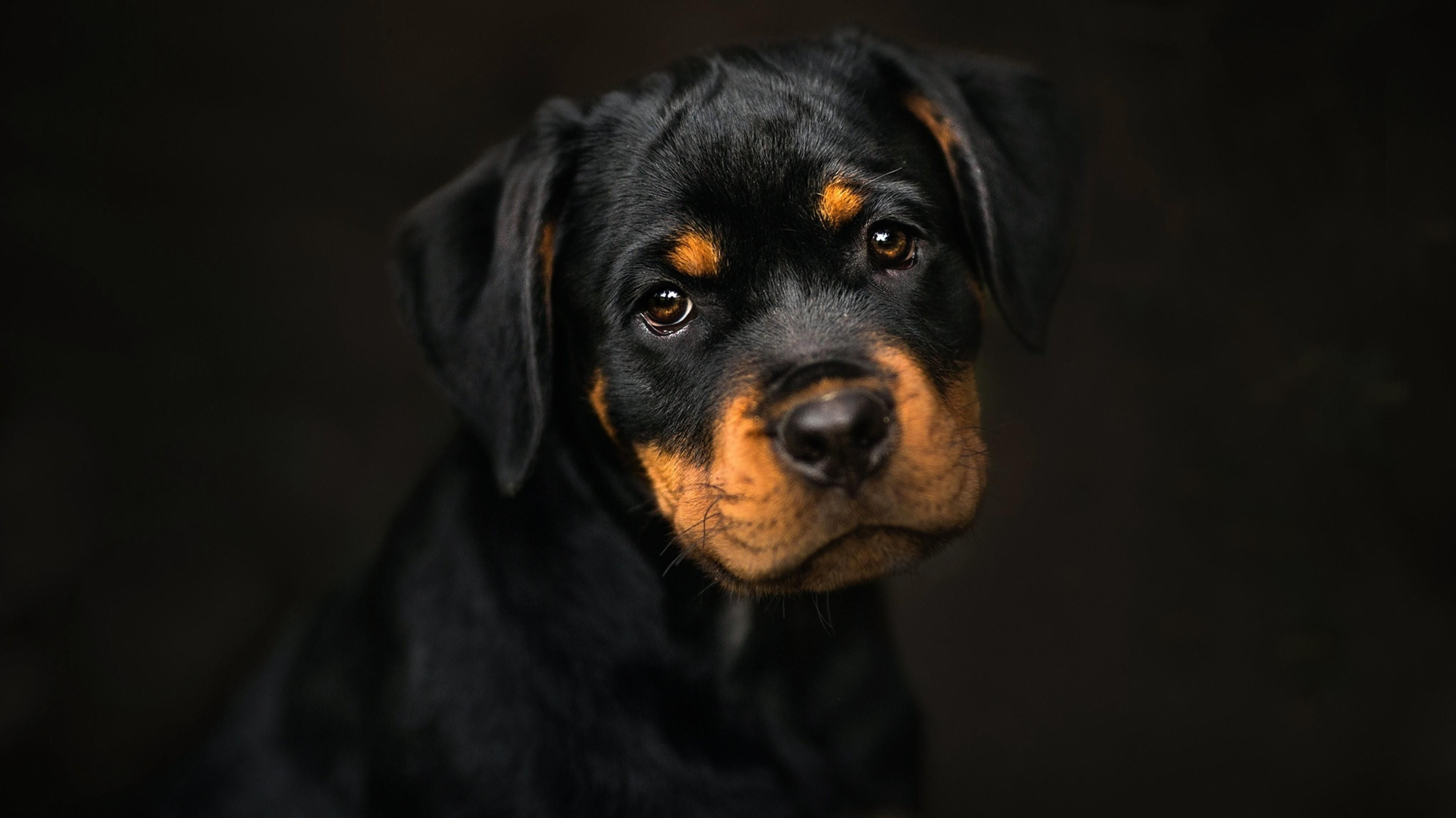 Cute Dog Wallpapers Desktop Mobile 44 Rottweiler Puppies Cute Dog Wallpaper Rottweiler