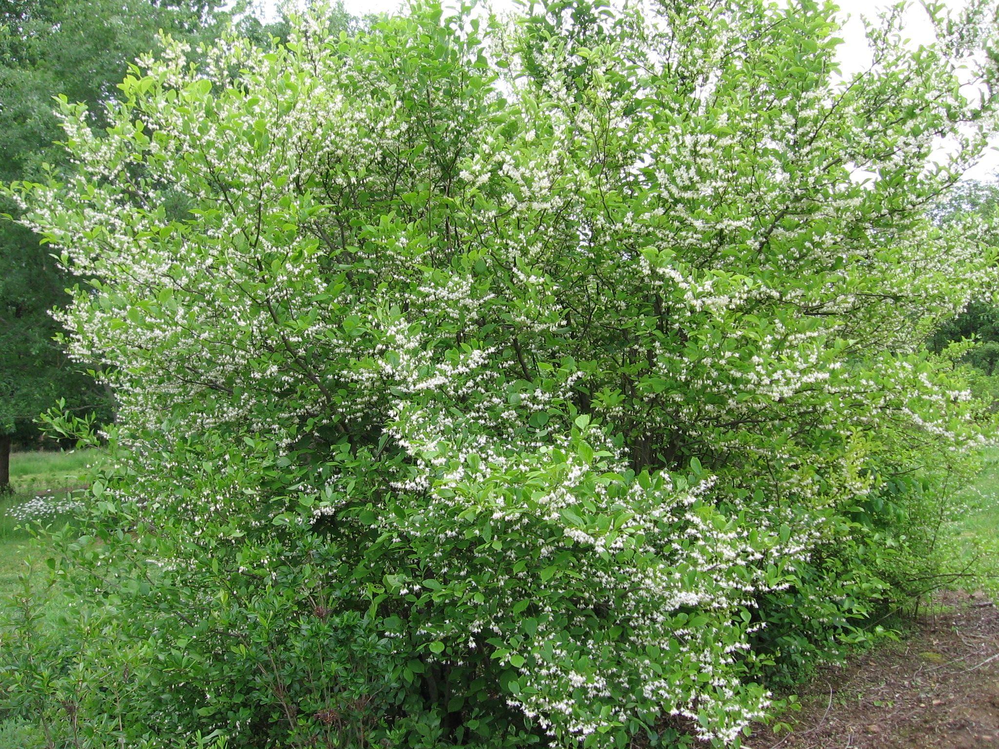 Backyard Piazza American Snowbell Styrax Americanagrandifoliaa