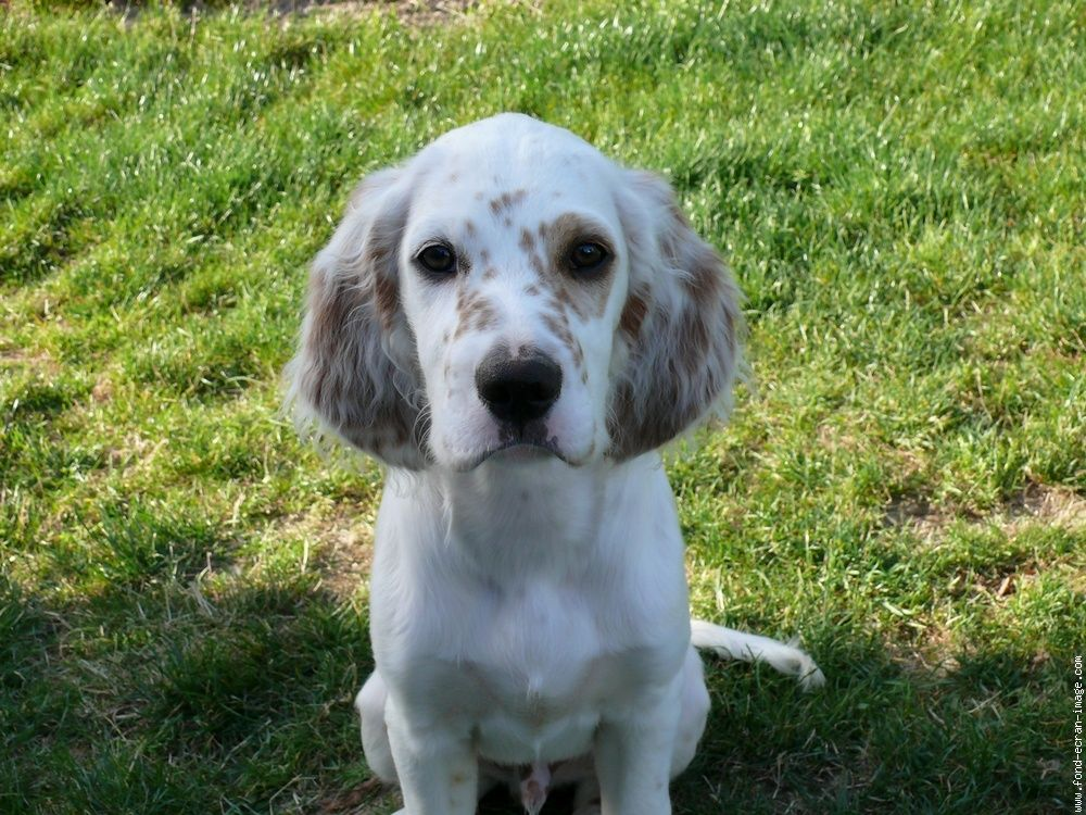 Chien setter anglais chien costa | English Setter ...