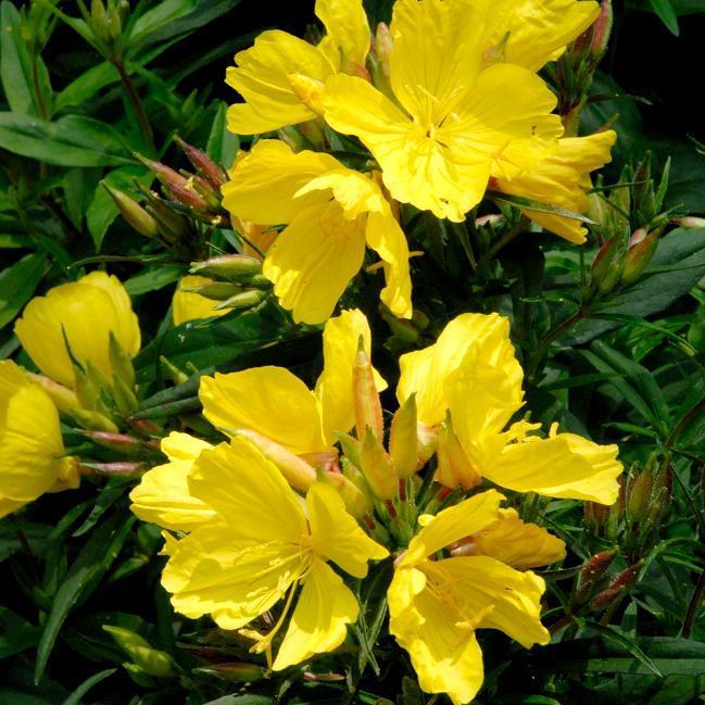 Onagre : planter et entretenir – Ooreka en 2020   Plante ...