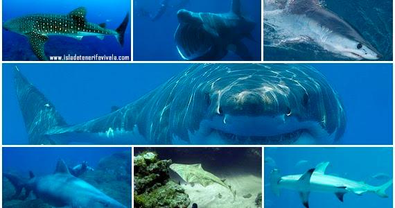 Tiburones En Las Islas Canarias Especies De Tiburones Islas Canarias Tiburones