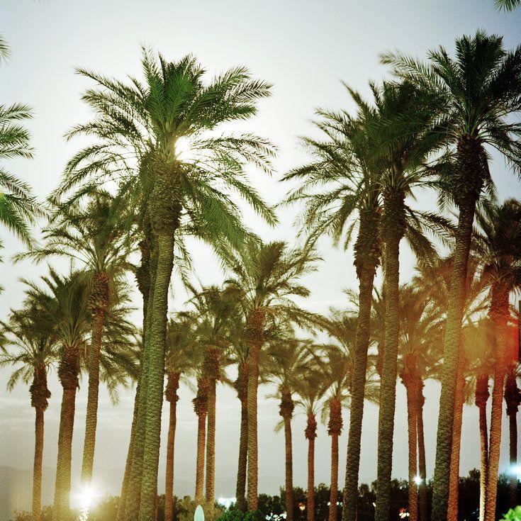 pygmy date palm care arizona