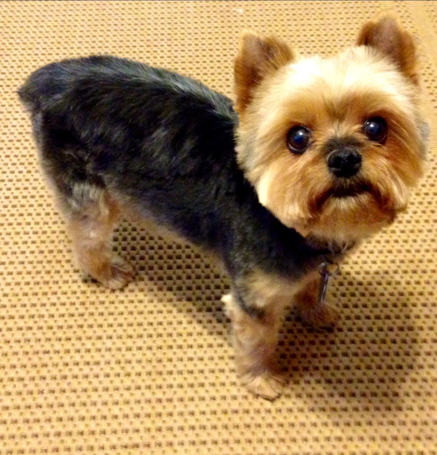 Yorkie haircut. Teddy Bear Cut Rocky. | Schnauzer,Yorkie