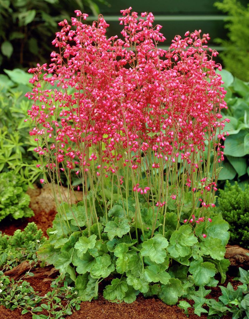 Alum root o heuchera sanguinea o coral flower o coral for Porch plants that are part sun and part shade