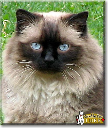 Tonkinese Cats Tonks Are A Cross Between The Siamese And Burmese Breeds They Are Lively Friendly Often Talkative Cats Tonkinese Cat Cute Cats Cat Breeds