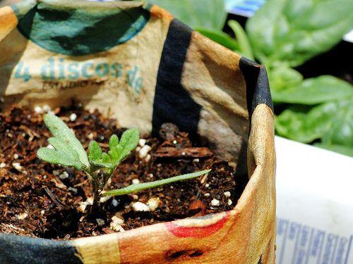 Artículo 44. Sal de Epsom, remedio viejo e infalible para el huerto urbano | Proyecto greenBE