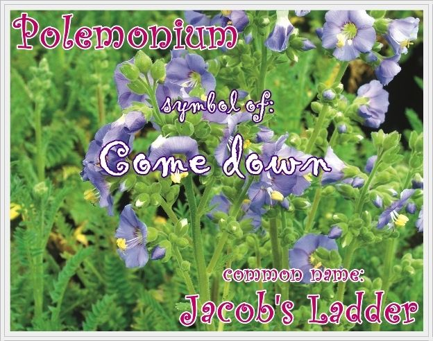 Polemonium or jacobs ladder means come down in the language of polemonium or jacobs ladder means come down in the language of flowers mightylinksfo