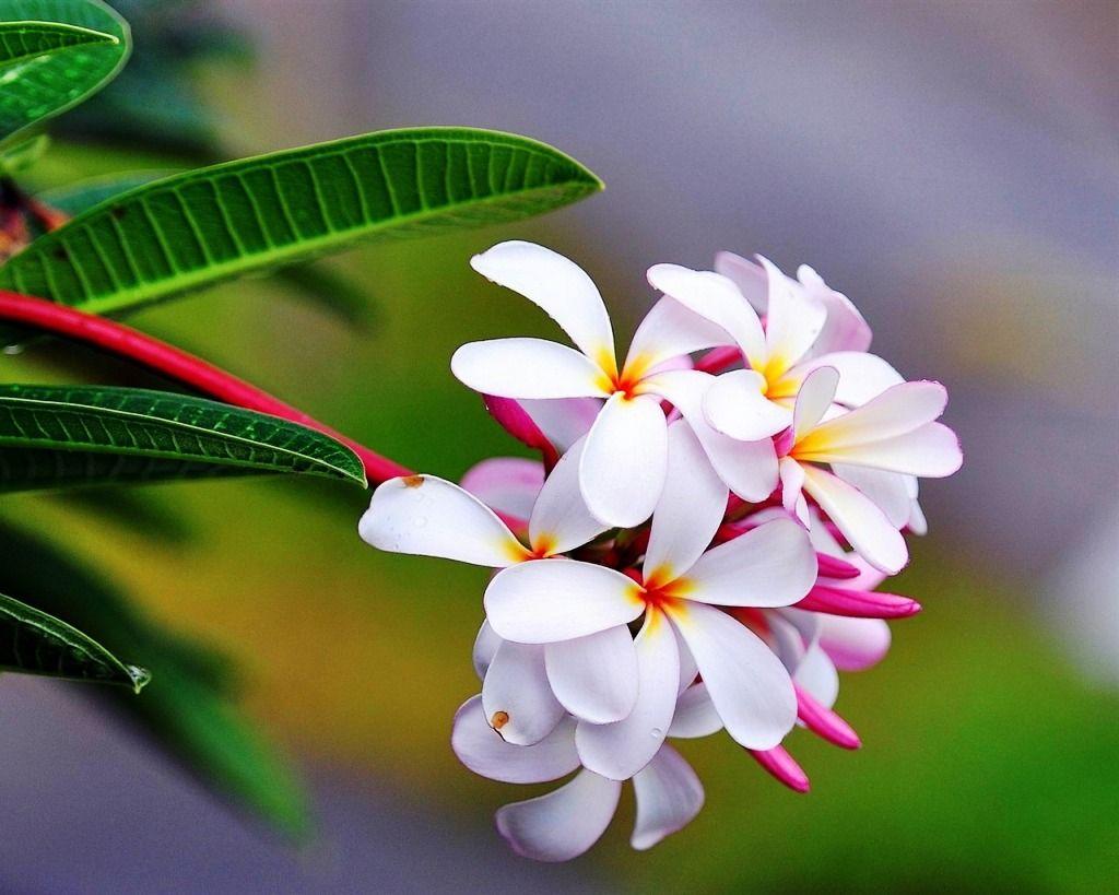 Gambar Bunga Kamboja Merah Muda Yang Indah Beautiful Flower