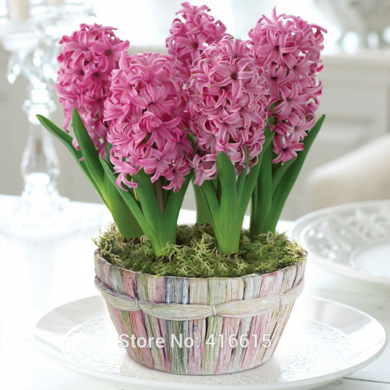 Jacinto flor en maceta buscar con google flores - Jacinto planta cuidados ...