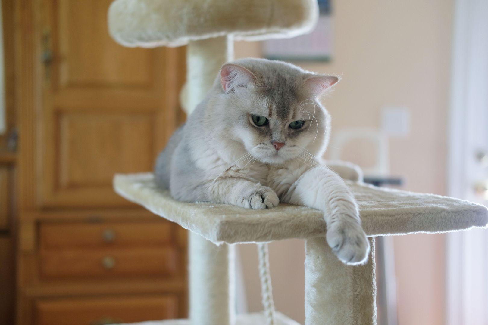 British Shorthair and Longhair Cats British shorthair
