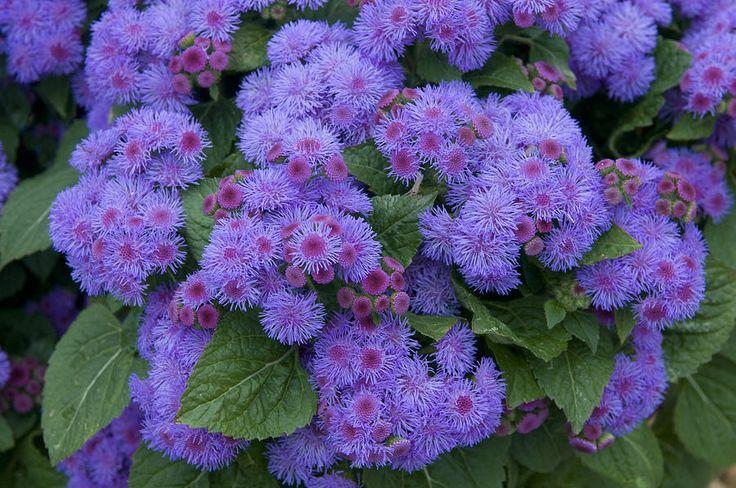 Ageratum Blue Horizon Plants Hydrangea Care Flower Landscape