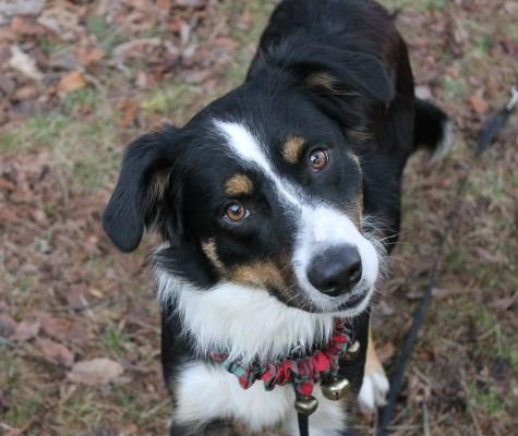 Meet Rio Bandit An Adoptable Border Collie Looking For A Forever Home If You Re Looking For A New Pet To Adopt Or Want Border Collie Collie Border Collie Dog
