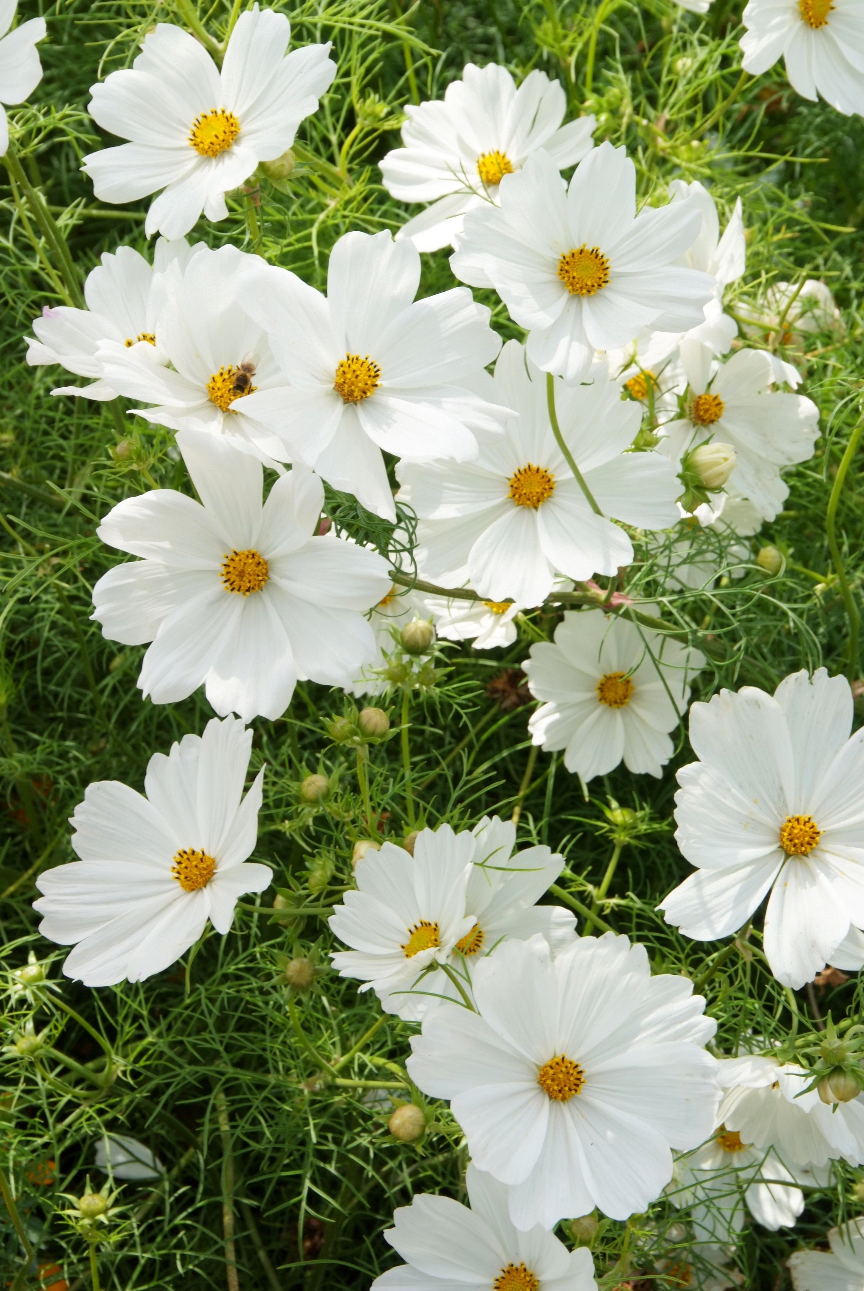 Cosmos Bipinnatus Purity Has Large Open Flowers Of Pure White With Delicate Apple Green Foliage Cosmos Flowers Moon Garden Open Flower