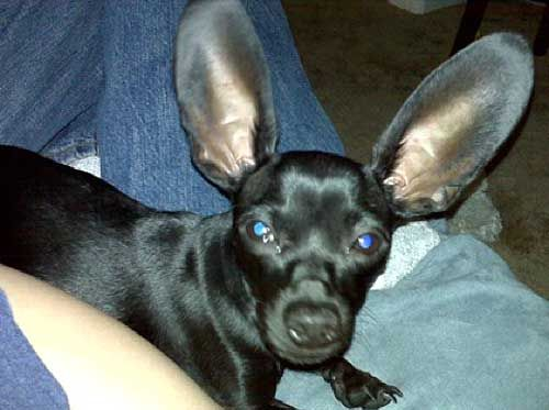 Chiweenie Hears Everything And I Thought Tia Had Big Ears With
