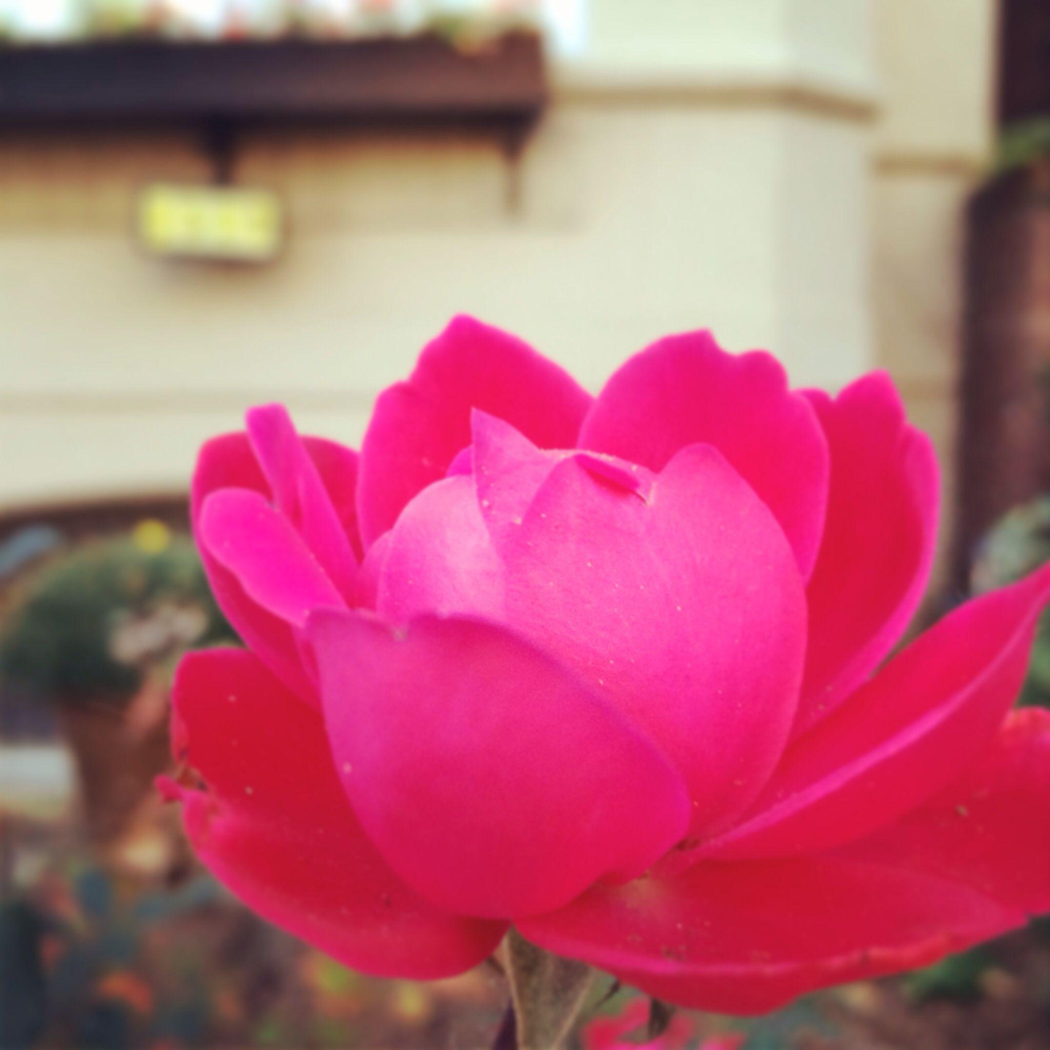 Lockout roses in Nov Flowers, Rose, Plants